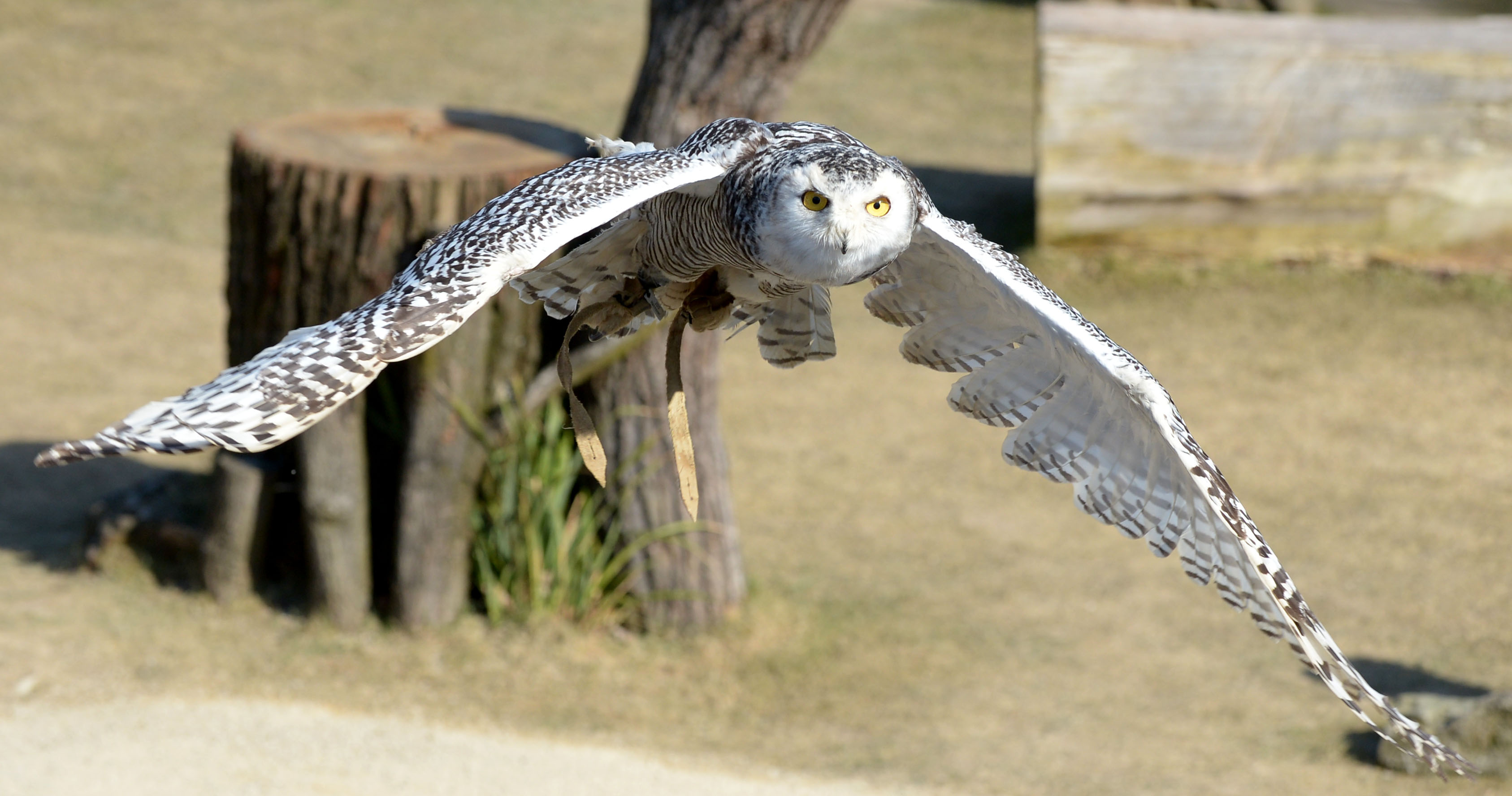 The Owls Wings May Be A Model For Noise Reduced Rotor Blades Photo
