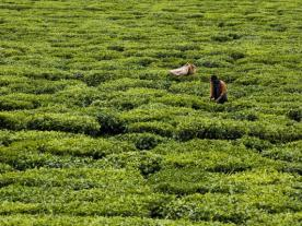 Tea processing requires energy; ideally green energy. (Photo: dpa)