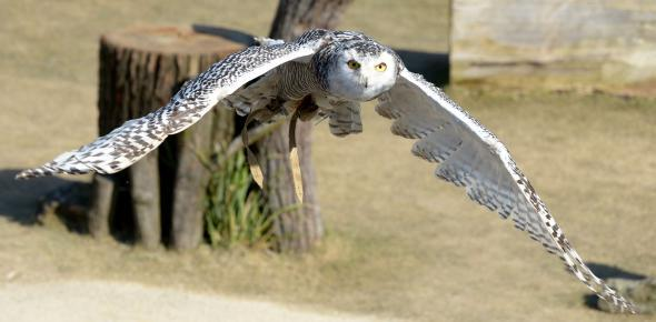 The owls' wings may be a model for noise reduced rotor blades. (Photo: dpa)